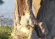Gepard - Amboseli