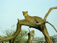 Leopard - Samburu
