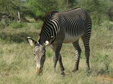 Grevy´s Zebra - Samburu