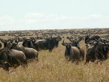 Migration - Maasai Mara
