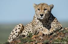 Photo Safari Cheetah