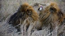 Male Lions Serengeti