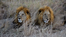Male Lions Serengeti 3