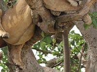 Tree Climbing Lions Ishasha
