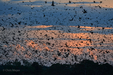 Kasanka Bat Migration 4