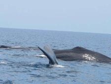 Sperm Whales In Kalpitiya Diving Of A Whale C Upali Mallikarachchi1