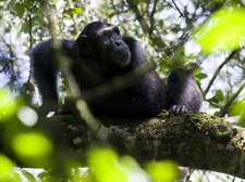 03 Chimpanzee
