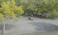 Sundarban Wild Pig Image By S M T 09732466250