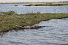 Crocs On The Chobe