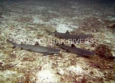 Ombak Diving With 3 Sharks