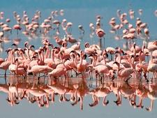 Flamingo At Lake Manyara