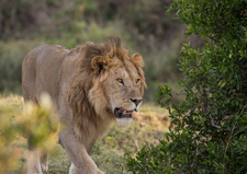 Lion Walking, Features Africa Journeys