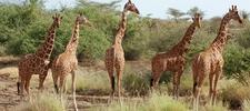 Samburu National Reserve Giraffes