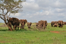 Group Of Loxodonta Africana Next To A Dirt Road South West Of Salt Lick Game Lodge In The Taita Hills Wildlife Sanctuary Kenya E1498216739602