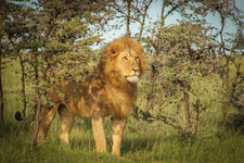 Kenya Lion Small 1