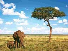 Kenya Savannah Elephant