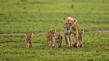 Kenya Wildlife Lion Pride With Cubs Richard Denyer