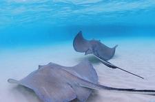 Stingray Sanbar Cayman