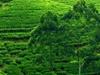 Nuwara Eliya Tea Estates