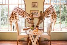 Giraffemanorkenya2