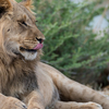 Male Lion At Khutse Game Reserve