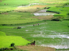 Paddy Field Near The Reserve
