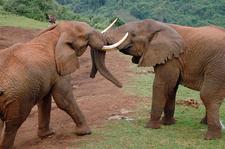 Elephants Aberdares