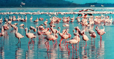 Pink Flamingo Lake Nakuru