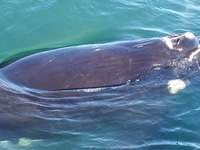 Whale Watching Hermanus Boat Tours