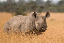 Another Rhino
