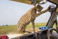 Cheetah Land Cruiser Safari Northern Serengeti Poncing