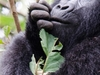 Bwindi Forest Gorillas