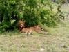 Lions In Ishasha- Queen Elizabeth National Park