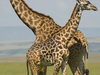 1280px Giraffes In Masai Mara