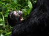 Bwindi Baby Gorilla