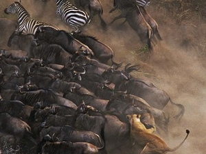 The Great Wilderbeast Migratiion - Masai Mara Photos