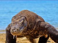 Komodo Dragon Tour
