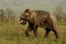 A Bull Elephant In The Park