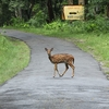 A Chital Crossing A Road