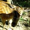 A Deer In Somoskő Forest Range, Salgótarján