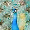 Adichunchanagiri Peacock Sanctuary