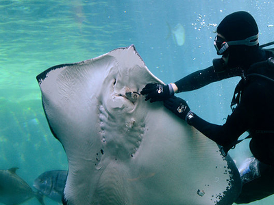 A Diver Feeding A Short-tail Stingray
