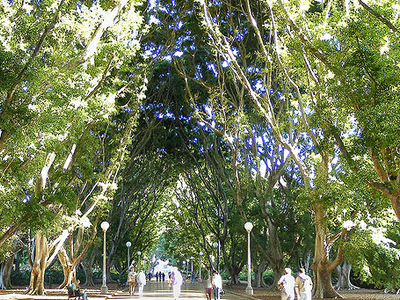 A Fig-Lined Avenue In Hyde Park