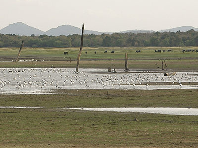 A Flock Of Birds At The Minneriya Reservoir
