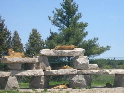 African Lion Safari  Lions