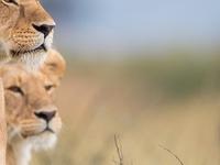 African Lioness Pair In Amboseli National Park Safari