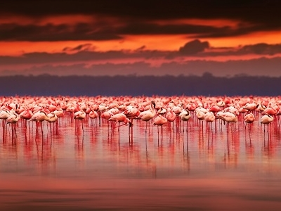 Afrikan Flamingoes At Lake Nakuru