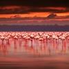 Afrikan Flamingoes