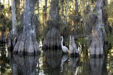 A Great Egret Passes