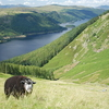 A Herdwick Grazing Above Thirlmere